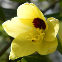 Yellow Orchid Tree, Bauhinia tomentosa, photo © Michael Plagens