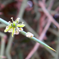 greenish flower of Balanites aegyptiaca, desert date, photo © Michael Plagens