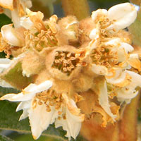 Loquat flowers photo © Michael Plagens