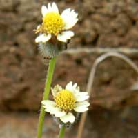Tridax procumbens from Nairobi, Kenya, photo © Michael Plagens
