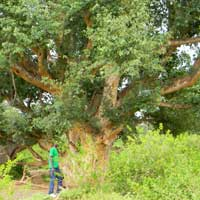 Sycamore Fig at Lake Bogoria photo © Michael Plagens