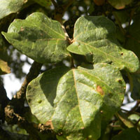 compound leaf has three roughly equal segments, Erythrina abyssinica, photo © Michael Plagens