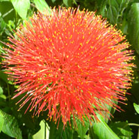 inflorescence of Scadoxus multiflorus, photo © Michael Plagens
