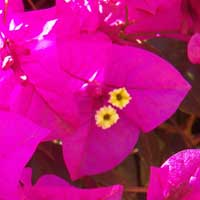 flowers and bracts of Bougainvillea, photo © Michael Plagens