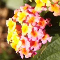 Lantana, an exotic invasive weed in East Africa, photo © Michael Plagens
