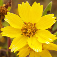 each of the yellow straps is a separate flower, photo © by Michael Plagens