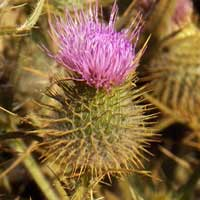 Spear Thistle, Cirsium vulgare, Kenya, photo © Michael Plagens
