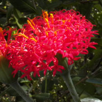 Striking red-flowered composite observed in Kenya, photo © Michael Plagens