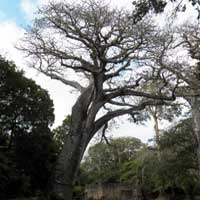 Baobab, Adansonia digitata, photo © Michael Plagens