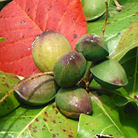 Indian Almond, Terminalia catappa, photo © Michael Plagens