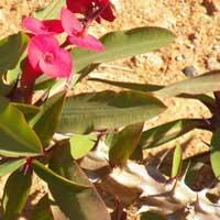 Euphorbia milii photo ©