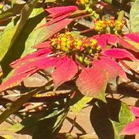 Euphorbia pulcherrima, Poinsettia, photo ©