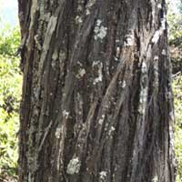 trunk and detail of bark, Acacia lahai, photo © Michael Plagens