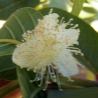 pure white blossom of Guava, Psidium guajava, photo © Michael Plagens