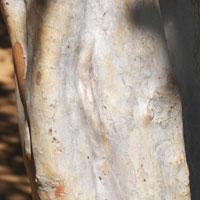 trunk and bark of Psidium guajava photo © Michael Plagens