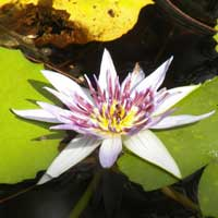 a water lily at a fresh water pond near Mombasa, Nymphaea sp., photo © Michael Plagens