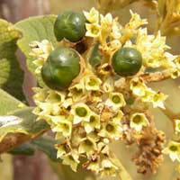 inflorescence with fruit of a Cordia photo © Michael Plagens