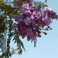Jacaranda, a frequent ornamental tree, in East Africa, photo © Michael Plagens