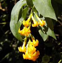 Or better, Orange Cestrum, Cestrum aurantiacum, photo © Michael Plagens