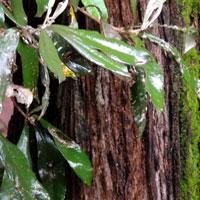 Silver Oak, Brachylaena huillensis, photo © Michael Plagens