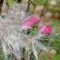 a pink-flowered ragwort, Senecioneae, photo © Michael Plagens