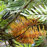 exotic plantation tree, silky-oak, photo © Michael Plagens