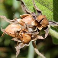 seed capsules of Astripomoea lachnosperma, photo © Michael Plagens