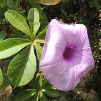 Morning glory with palmately compound leaves, photo © Michael Plagens