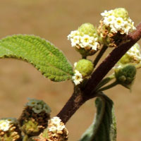 inflorescence of Lippia javanica photo © Michael Plagens