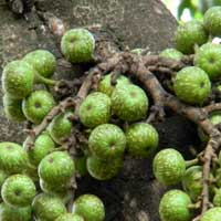 fruiting fig, Ficus thonningii, photo © Michael Plagens