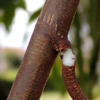 broken petiole exudes milky latex resin, Ficus thonningii from Nairobi © Michael Plagens