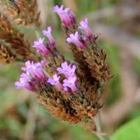 Verbena bonariensis, photo © Michael Plagens