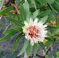 small tree of Protea mafingensis from Menangai, Kenya, photo © Michael Plagens