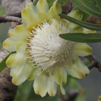 close view of flower, Protea mafingensis from Menangai, Kenya, photo © Michael Plagens