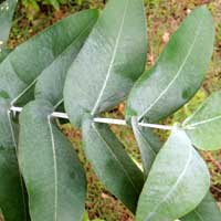 leaves of Eucalyptus cinerea photo © Michael Plagens