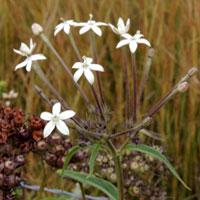 Shrubby madder with very long tubular white flowers in Kenya, photo © Michael Plagens