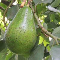 cultivated avocado, Persea americana, photo © Michael Plagens
