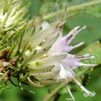 Vernonia sp. photo © Michael Plagens