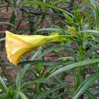 Yellow Oleander, Thevetia peruviana, photo © Michael Plagens