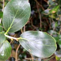 leaf of Kei Apple, Dovyalis caffra, photo © Michael Plagens