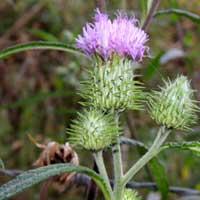 Ironweed, Vernonia galamensis, photo © Michael Plagens