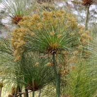 Cyperus papyrus, photo © Michael Plagens