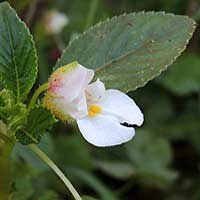 Mostly white Impatiens marked with pink, photo © Michael Plagens