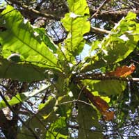a very large leaf forest plant, Anthocleista vogelii, from East Africa, photo © Michael Plagens