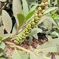 Pokeweed in Nairobi photo © Michael Plagens
