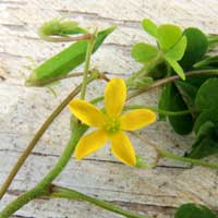 Creeping Wood-Sorrel in Kenya, photo © Michael Plagens