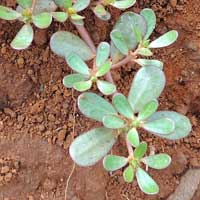 Common Purslane in Kenya, Argemone mexicana, photo © Michael Plagens