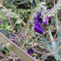 A vine-like mint, Plectranthus, photo © Michael Plagens