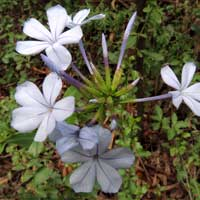 Plumbago photo © Mike Plagens