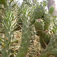 spiny cactus, Opuntia exaltata, photo © Michael Plagens
